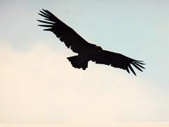 BUEN  FIN DE SEMANA (su-sa-ni-ta) Tags: condor quebradadelcondorito cordoba argentina flickr abril20119 nature naturaleza planeando fotografia aventura aves
