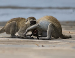 Brotherly love (garryfowle) Tags: vervet monkey fight africa kenya mombasa wildlife mammal