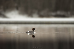 Sunday Mood (laurilehtophotography) Tags: common goldeneye telkkä nature wildlife spring kevät luonto amazing europe sunday mood nikon d750 nikkor 200500mm lake suomi finland jyväskylä vaajakoski bokeh bird birding birdphotography luontokuvaus