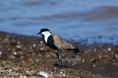 Spur-winged lapwing (supersky77) Tags: spurwingedlapwing lakevictoria entebbe mud
