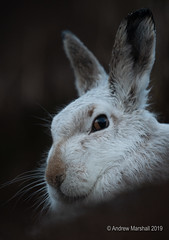 Mountain hare portrait (Gowild@freeuk.com) Tags: mountainhare lepustimid hare white snow mountains mammal wild wildlife animal nature cairngorms nationalpark scotland andrewmarshall nikon d850
