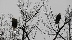 Nesting Pair Bald Eagles_N9081 (Henryr10) Tags: 4seasonsmarina kellogg ohioriver cincinnati oh usa haliaeetus haliaeetusleucocephalus baldeagle raptor eagle ohio avian bird vogel ibon oiseau pasare fågel uccello tékklistar baea