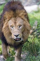 Walking to me... (Tambako the Jaguar) Tags: lion big wild cat male african mane portrait close face approaching walking openmouth impressive vegetation munich münchen hellabrunn zoo germany nikon d5