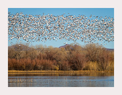 Snow Geese Chaos (www.halkaphoto.com) Tags: usa americansouthwest newmexico bosquedelapache wildliferefuge riogrande river socorrocounty snowgeese riograndefloodplain