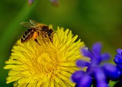 Honigbiene auf Löwenzahn (uwe125) Tags: tiere insekten bienen honigbiene insect blüte löwenzahn honeybee pollen blossom