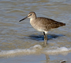 A Day at the Beach (Darts5) Tags: willet wadingbird wading wadingbirds sandpiper sandpipers bird birds birdseye nature animal 7d2 7dmarkll 7dmarkii 7d2canon ef100400mmlll closeup canon7d2 canon7dmarkii canon7dmarkll canon canonef100400mmlii