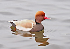 Red Crested Pochard - Michael Bird (Michael R Bird) Tags: redcrestedpochard pochard wildfowl duck redhead redbill lake water attenboroughnaturereserve nottingham canon tamron michaelbird g2 6d 150600mm