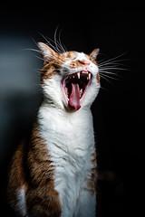 Yawn like a Tiger (Nicholas Erwin) Tags: cat animal luke kitty kitten meow feline pet orangetabby orangecat contrast yawning catyawn catyawning pretty fujifilmxt2 fujixt2 xf1024mmf4rois xf1024 fuji1024 fav10 fav25 fav50