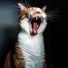 Yawn like a Tiger