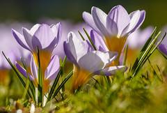 Lebensfreude (KaAuenwasser) Tags: lebensfreude krokus krokusse pflanze blumen makro nahaufnahme sonne licht natur sony ilce7rm3
