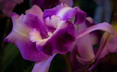 Orchid (San Francisco Gal) Tags: pacificorchidexposition 2019 orchid flower fleur bloom blossom flora ngc npc
