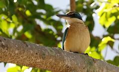Sacred Kingfisher 101018 (1) (F) (Richard Collier - Wildlife and Travel Photography) Tags: australia australianbirds birds wildlife naturalhistory sacredkingfisher