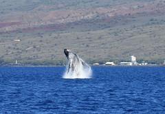 DSC_0521 (Don Holmgren) Tags: hawaii kohalacoast humpbackwhale breach