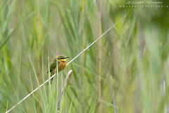 Little Bee-eater (gsphotography145) Tags: littlebeeeater africa chisomogamereserve southafrica canon tamron withmytamron garrettsheets