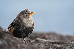 Common Blackbird (immature male?) in NZ (Gomen S) Tags: animal wildlife nature bird 80400mm d500 nikon newzealand morning 2019 summer