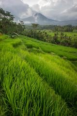 around Jatiluwih (kuuan) Tags: manualfocus mf voigtländer15mm cvf4515mm 15mm bali indonesia sonynex5n riceterace jatiliwuh tabanan view mountbatukaro