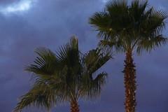 Palm Trees (ivlys) Tags: usa arizona tucson abendhimmel eveningsky palmen palmtrees himmel sky wolken clouds landschaft landscape natur nature ivlys