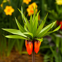 Fritillaria Imperialis (arbyreed) Tags: arbyreed lookingcloseonfriday bokehinflora flower tulip