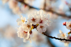 cherry blossoms (Christine_S.) Tags: flowers flower blossom spring japan hanami canon eos ef100mm macro mirrorless m5 nature explore explored bright pretty bluesky blossoms sakura サクラ 桜 さくら ソメイヨシノ yoshino ngc