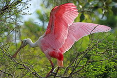 love my colors (Dianne M.) Tags: roseatespoonbill nature outside rookery wings feathers plumage bird pink florida