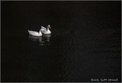 Ducks (scottnj) Tags: 365the2019edition 3652019 day87365 28mar19 ducks fowl birds lake water scottnj scottodonnellphotography wildlife nature bird