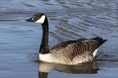 """Canada Goose (Branta canadensis) (newpeter) Tags: wildlife rabbits heron gulls birds deer stag otter meerkats animals creatures owls ducks tigers tiger leopard leopards bongo rhino swans butterflies otters """"long tailed tit"""" """"blue """"great """"coal nuthatch blackbird robin chaffinch sparrow dunnock woodpecker """"greater spotted woodpecker"""" """"wood pigeon"""" carrion crow """"carrion crow"""" siskin goldfinch jackdaw """"lesser squirrel brambling mallard curlew starling waterfowl geese goose"""