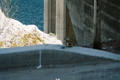 CNV00027 (rugby#9) Tags: animal floor nevada arizona concrete chipmunk outdoor america us usa water hooverdam coloradoriver boulderdam