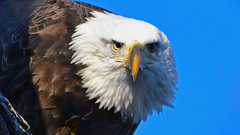Here's Looking At You! (MJMPhoto II) Tags: americanbaldeagle sunsetpark mississippiriver illinois iowa nature birdsofprey eagle mjmphotoart nikon
