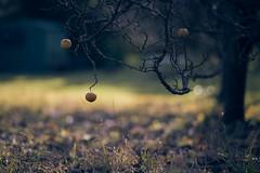 veräppelt (richard.kralicek.wien) Tags: apples fruit bokeh garden