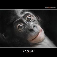 YANGO (Matthias Besant) Tags: affe affen affenfell animal animals ape apes pygmychimpanzee fell zwergschimpanse hominidae hominoidea mammal mammals menschenaffen menschenartig menschenartige monkey monkeys primat primaten saeugetier saeugetiere tier tiere trockennasenaffe bonobo schauen blick blicken augen eyes look looking yango baby bonobobaby child kind zoo zoofrankfurt matthiasbesant hessen deutschland