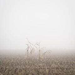 (koeb) Tags: meppen corn mais maisfeld nebel fog