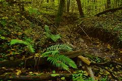 Fern and fall (МирославСтаменов) Tags: russia moscowregion fern fall autumn forest stream valley