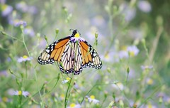 Monarch Butterfly (irbicjoy) Tags: butterflywings fly orange monarchbutterflies monarchbutterfly monarchs monarch insect butterflies butterfly
