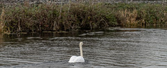 FIGHTING SWANS [ ROYAL CANAL BETWEEN BROOMBRIDGE AND ASHTOWN]-148335 (infomatique) Tags: birds swans fight wildlife nature water canal royalcanal canalwalk sony a7riii batis zeiss 135mmlens williammurphy infomatique fotonique ireland