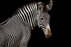 Zebra Black Background (Imalexus) Tags: zebra black background