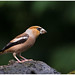 Hawfinch (male) - Appelvink (man) Coccothraustes coccothraustes ...