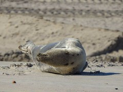Juvenile Harp Seal (Maryland DNR) Tags: juvenile harpseal assateague statepark beach wildlife