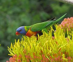 Rainbow Lorikeet (tedell) Tags: rainbow lorikeet royal botanic gardens melbourne victoria australia december 2018 bird