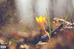 Crocus... (Hasan Yuzeir 📷) Tags: crocus flower flowers rainy rain raindrop hasanyuzeir spring forest nature macro
