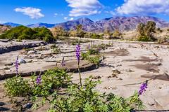 Lots of Lush Lupines (slworking2) Tags: anzaborrego anzaborregodesertstatepark desert flowers wildfires lupine blooms purple lupinusarizonicus borregosprings california unitedstatesofamerica us