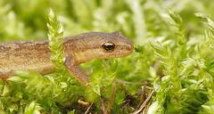 Smooth newt - Lissotriton vulgaris (henk.wallays) Tags: stages lissotritonvulgaris caudata aaaa nature salamandridae lissotriton amphibia chordata juvenile year2019 date