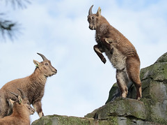 alpine ibex Artis 094A0699 (j.a.kok) Tags: animal artis alpensteenbok alpineibex europe europa steenbok ibex mammal zoogdier dier