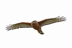 Red-shouldered Hawk (Alan Gutsell) Tags: redshoulderedhawk red shouldered hawk raptor birdofprey flying alan nature wildlife photo canon california del valle