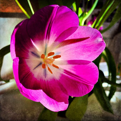 It's Tulip Season
