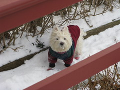 2/12B ~ Riley, enjoying the snow (ellenc995) Tags: riley westie westhighlandwhiteterrier snow outside 12monthsfordogs19 coth thesunshinegroup alittlebeauty fantasticnature coth5 thegalaxy challengeclub 100commentgroup