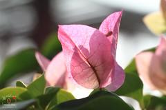 九重葛 (~金玉~ Y.C.CHEN) Tags: plant pink green light beautiful bokeh canon color colorful outside outdoor macro