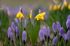 Spring colors... (.: mike | MKvip Beauty :.) Tags: sony⍺7markiii sony⍺7iii sonyilce7m3 sonyalpha7m3 sonyalpha sony alpha emount ⍺7iii ilce7m3 ibis sigmafe135mmƒ18dghsm| sigma art 135mmcloseup macro makro handheld availablelight naturallight backlight backlighting shallowdof bokeh bokehlicious beyondbokeh extremebokeh smoothbokeh nature flowers daffodil crocus spring karlsruhe germany europe mth mkvip sigmafe135mmƒ18dghsm|art ngc