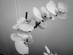 harada-flowers-63 (annie harada) Tags: flowers hana blumen fleurs bouquet noir et blanc black white