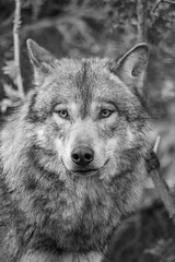 Eurasian wolf (Canis lupus lupus) (lee dawe photography) Tags: animal canis looking canine carnivore danger dog eye fur mammal nature noperson outdoors portrait predator wild wildlife wolf wood zoo