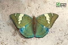 The Grand Duchess - ผีเสื้อราชินี (Antonio Giudici Butterfly Trips) Tags: thegrandduchess ผีเสื้อราชินี doiinthanon chiangmai thailand nymphalidae limenitidinae euthaliapatalataooana